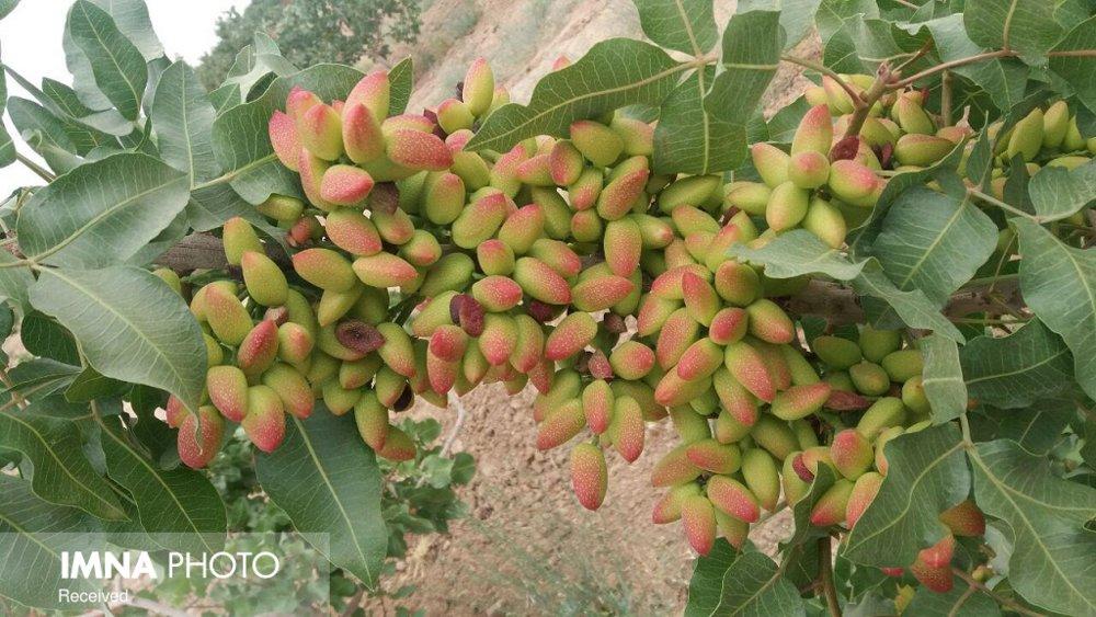 Rate of Pistachio harvesting in Badrud gardens decreased by 70 percent