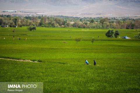 رنج کشاورزان از نابودی دسترنجشان