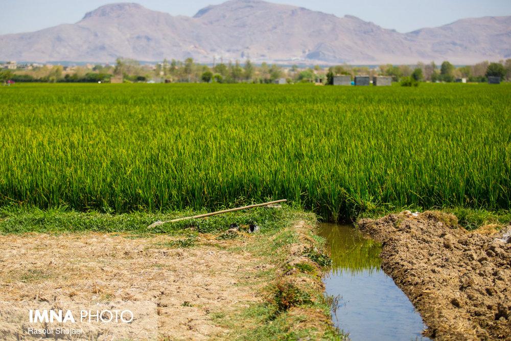 اراضی کشاورزی شهر ری به آب نیاز دارند