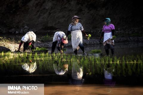 محدودیت کشت برنج خارج از استانهای گیلان و مازندران