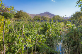 برداشت انگور از مزارع شهر تیران