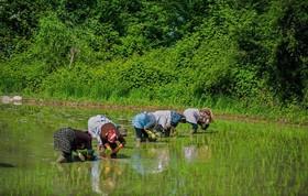 واردات برنج تا اطلاع ثانویه ممنوع است/ پیش بینی تولید داخلی ۸۰ درصدی برنج