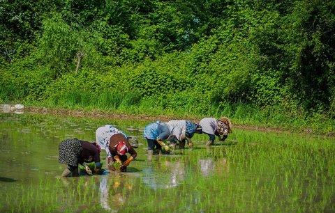 ضرورت اجرای مصوبه ممنوعیت کشت برنج خارج از گیلان و مازندران