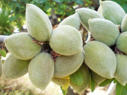 کشت بادام و انگور دیم در دهاقان