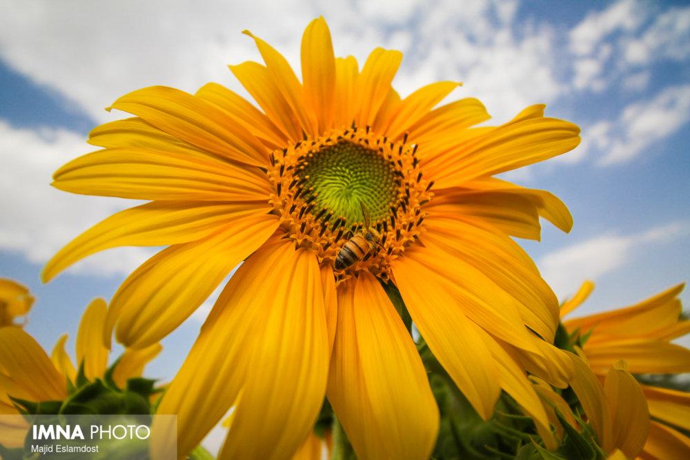 Sunflower; symbol of faith and loyalty