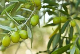 تولید روغن زیتون از اولویتهای وزارت جهاد کشاورزی است