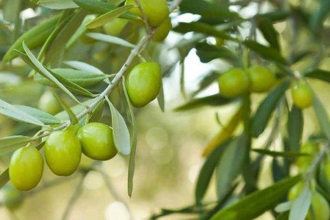 درخت زیتون را در منزل پرورش دهید