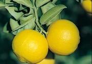 لیموشیرین؛ سمزدای طبیعی بدن