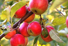 کاهش ۴۰ درصدی تولید سیب در اصفهان