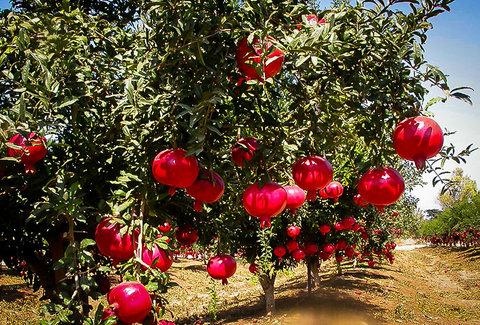 افزایش ۳۰ درصدی تولید انار در شهرضا