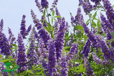 گیاهی که بسیاری از بیماریهای زنان را درمان میکند!