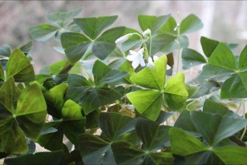 گیاهانی که خوش شانسی میآورند