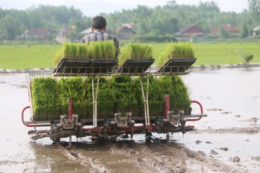 ممنوعیت کاشت برنج به اقتصاد لنجان آسیب میزند