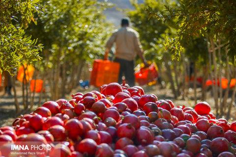 ضرورت تشکیل تعاونی تولیدکنندگان انار بادرود