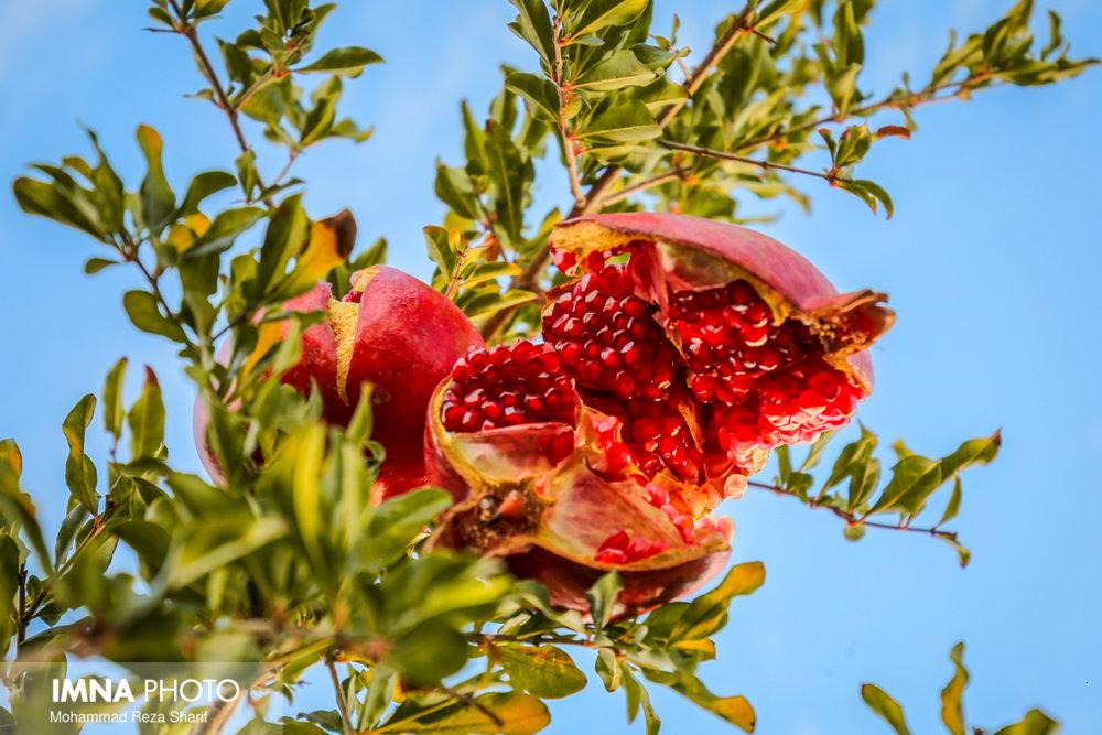 سیزدهمین جشنواره انار بادرود در ماه آبان برگزار میشود