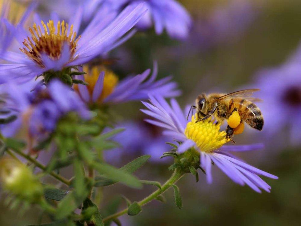کاهش جمعیت زنبورها، امنیت غذایی را به خطر میاندازد