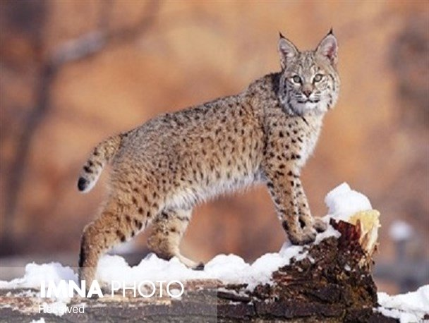 Isfahan's Canine and Felidae in danger of extinction