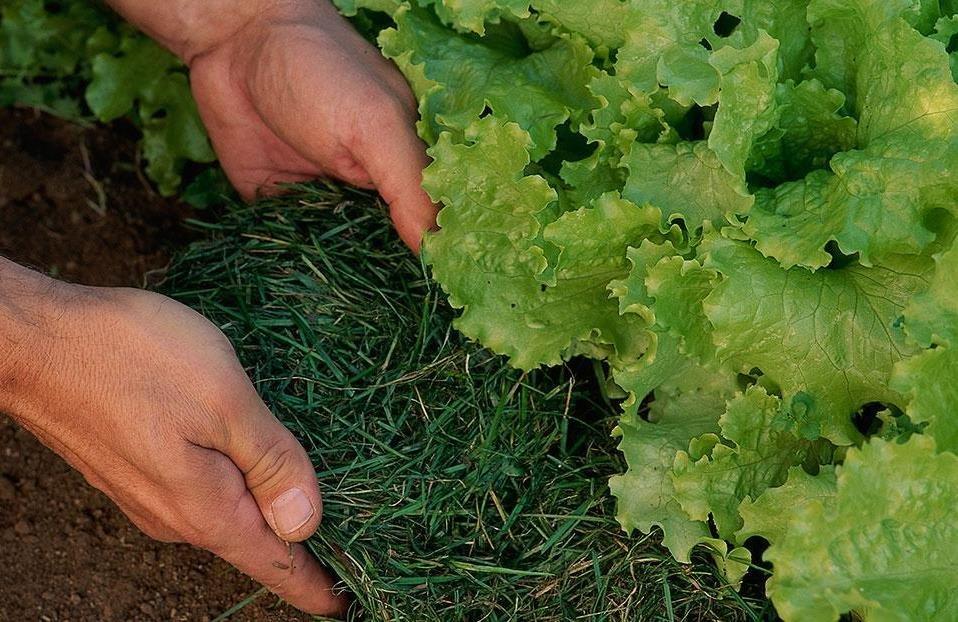 کود سبز باعث افزایش کمی و کیفی تولیدات کشاورزان میشود