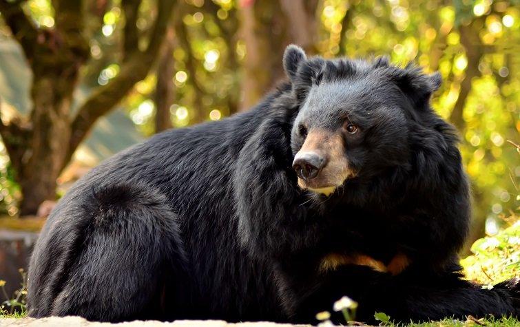 Asian Black Bear Seen in Southeastern Iran