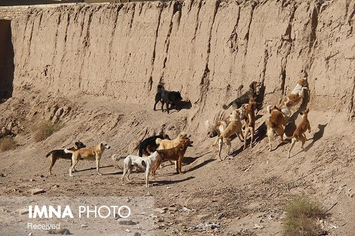 خطر سگهای ولگرد در کمین مردم شهرضا