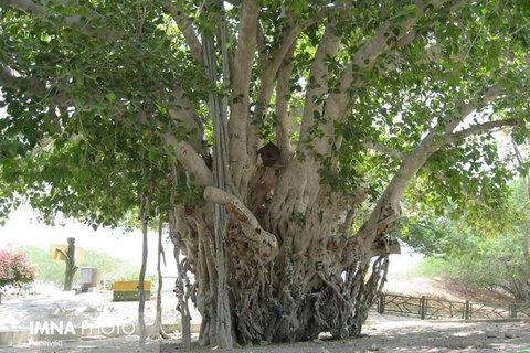 اصلاح وضعیت بصری درختان ون کهنسال در شهر قم