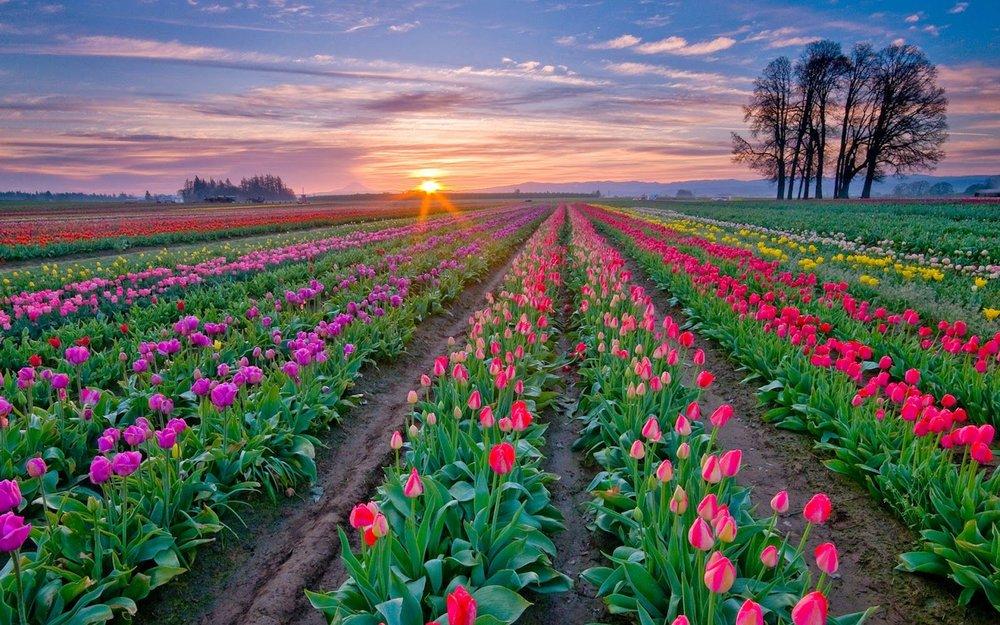 زیباترین باغ گل در جهان ۷ میلیون گل دارد!