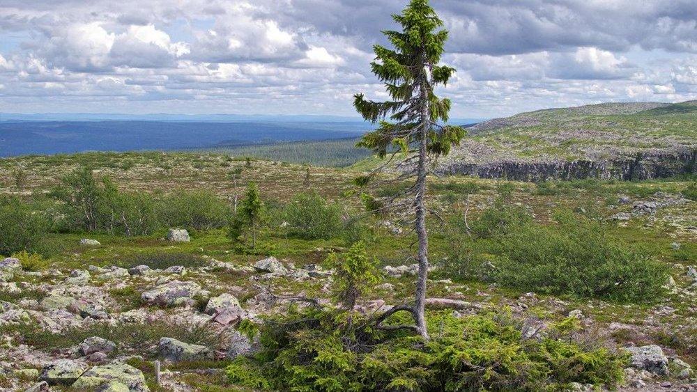 اولین درخت بعد از عصر یخبندان هنوز زنده است!