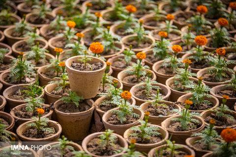 کاشت ۹ هزار بوته گل پاییزی در مهاباد