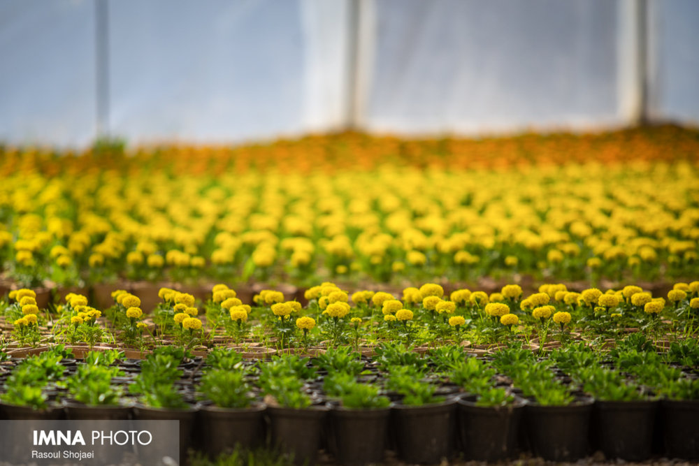 تولید سالانه ۴ میلیون بوته گل فصلی در گلخانههای شهرداری گرگان