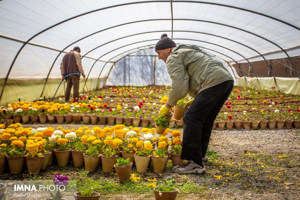 تولید گلهای پاییزی و زمستانی در گلخانه شهرداری گلپایگان