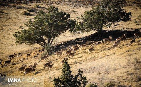 ورود به مناطق حفاظت شده اصفهان در فصل زادآوری حیوانات ممنوع شد