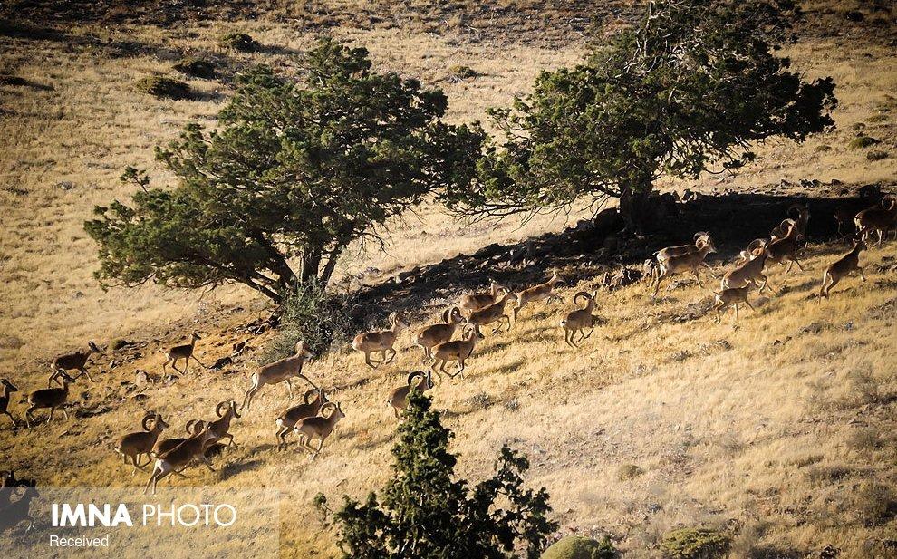 سرشماری وحوش مناطق حفاظت شده با رعایت شیوهنامههای بهداشتی کرونا