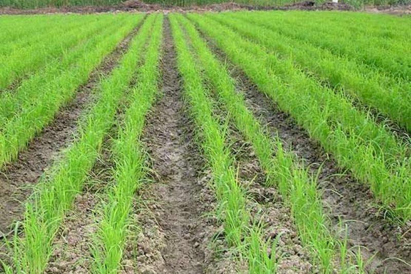 کاشت ۳۲ محصول به جای برنج لنجان