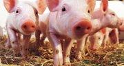 احیای ریه آسیبدیده انسان با اتصال به بدن خوک