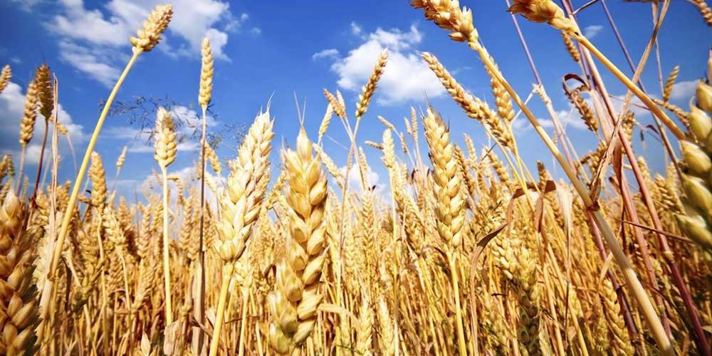 کشت گندم در اصفهان نسبت به سال گذشته کاهش یافته است