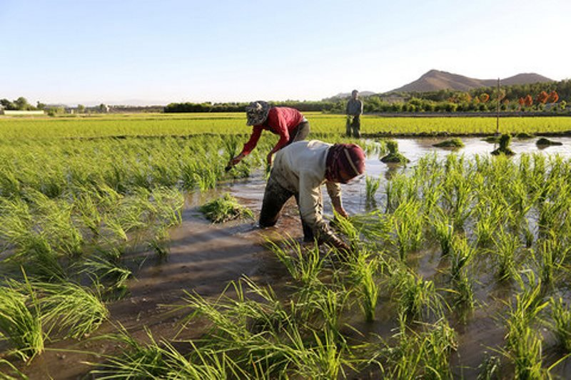 کشت برنج در استان اصفهان به کمتر از ۱۰۰۰ هکتار رسید