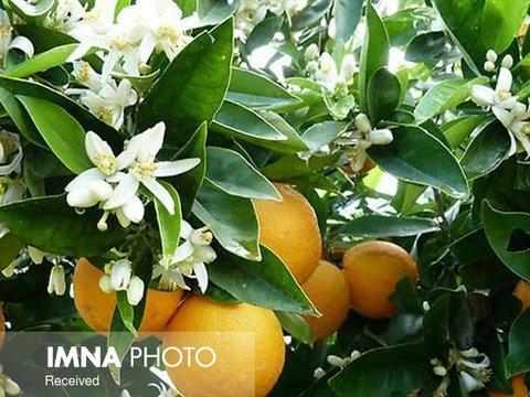 برداشت سالانه ۳۲۰ تن میوه نارنج از درختان شهر ساری