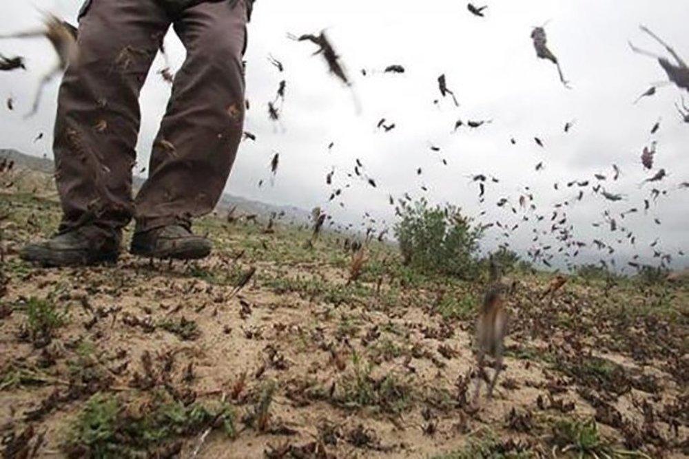 تصویب ۲۰ میلیارد تومان برای مبارزه با هجوم ملخ صحرایی