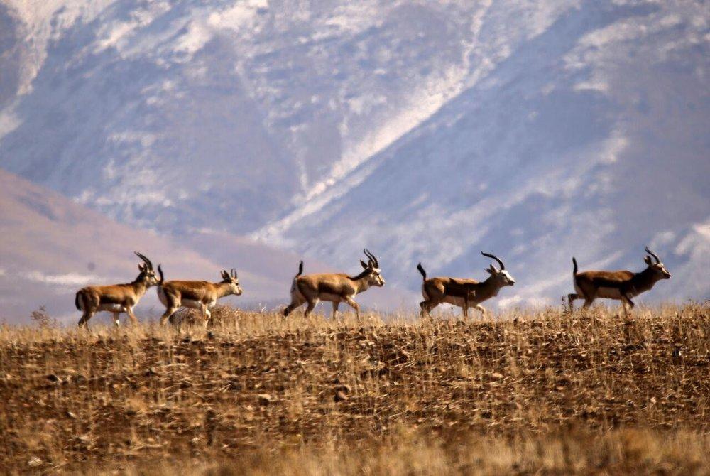 آغاز فصل زایش حیاتوحش در پارک ملی گلستان