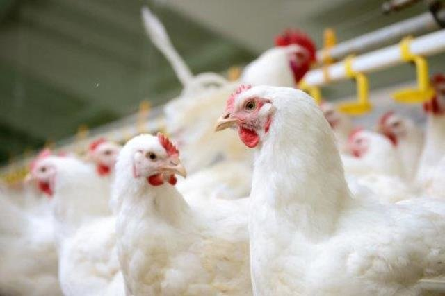 تخصیص ۳۳ میلیارد ریال اعتبار برای احداث مجتمع صنفی پرندگان ذبحی
