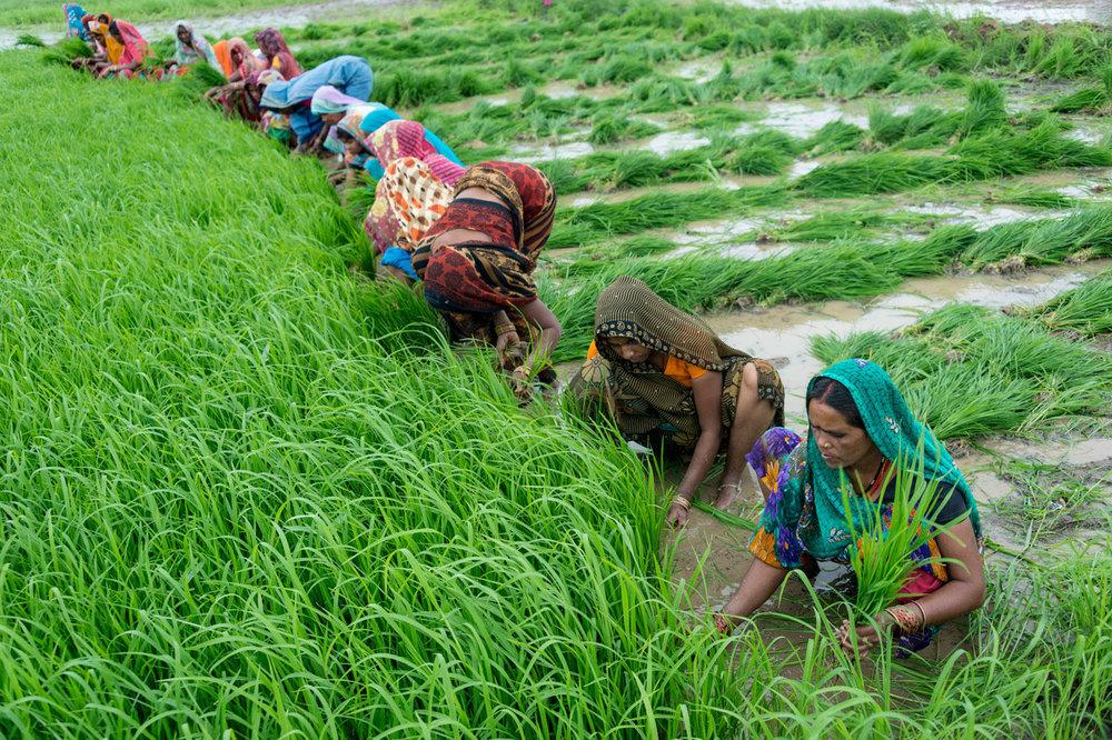 کاهش ۸۰ درصدی مصرف آب در مزارع هند
