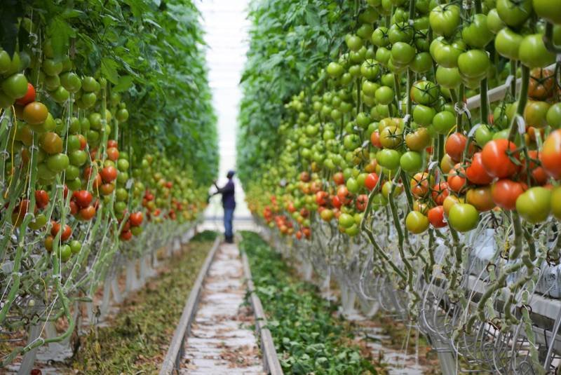 توسعه کاشت محصولات گلخانهای در لنجان