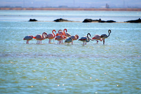 Flamingos painted Gavkhouni pink