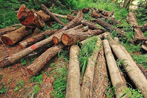 ماجرای قطع درختان جنگلی در شمال کشور چیست؟