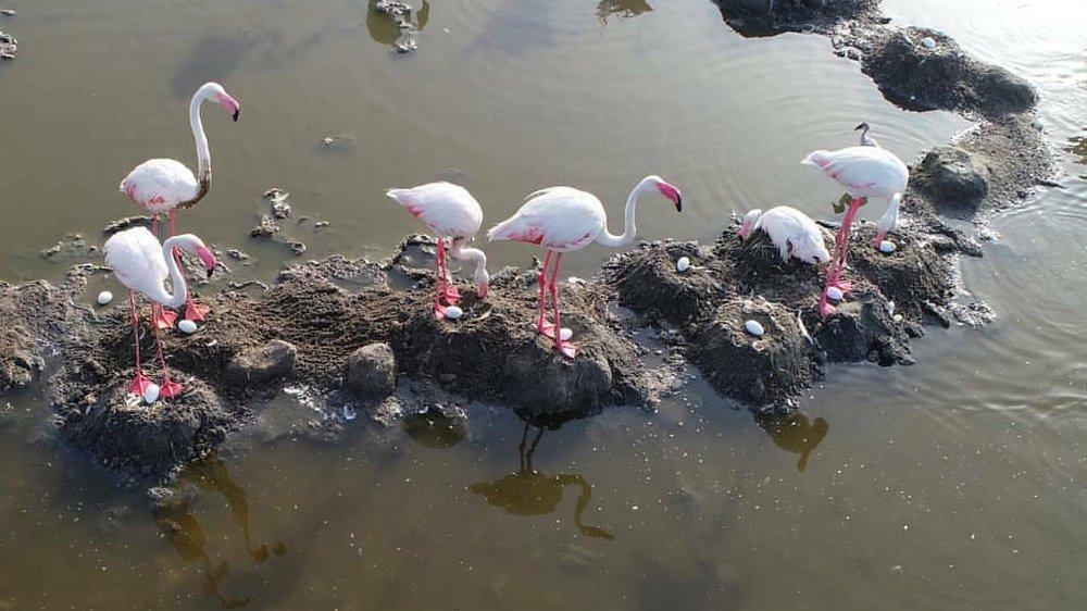 کاهش حضور فلامینگوها در دریاچه ارومیه