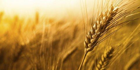 افزایش ۲۳ درصدی توزیع بذر گندم میان کشاورزان