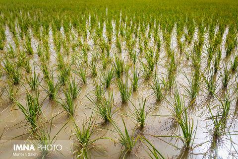 برنجکاری در شهرستان مبارکه
