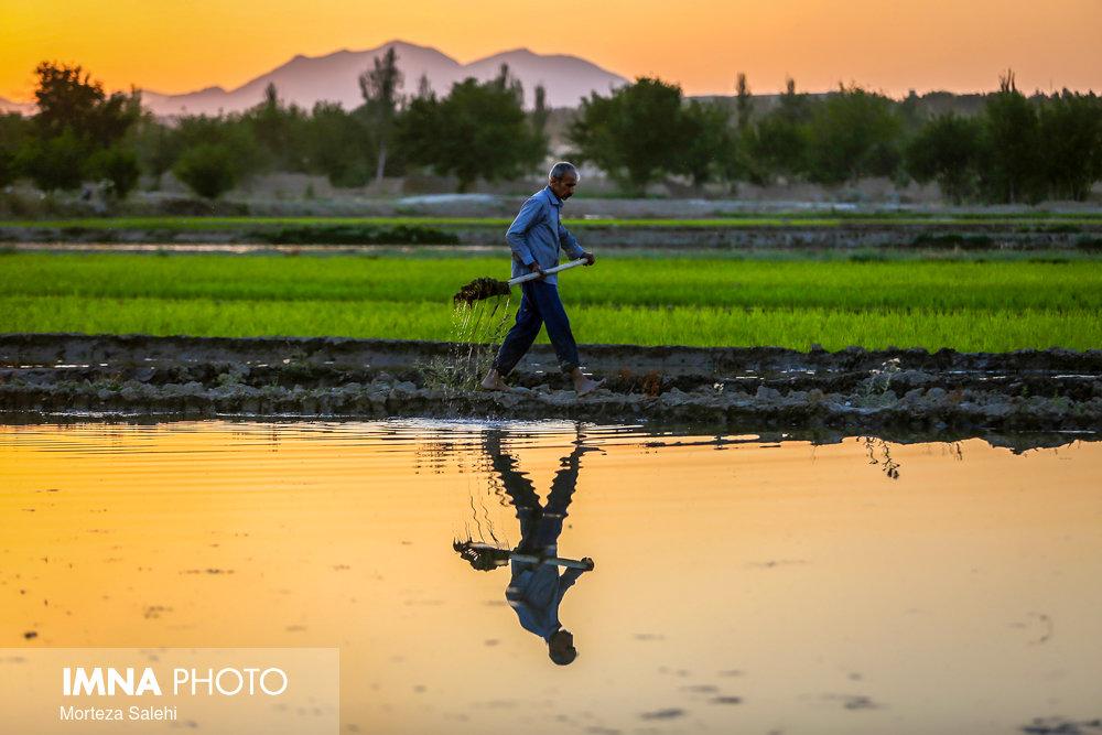 Beautiful scenery of paddy fields in planting season