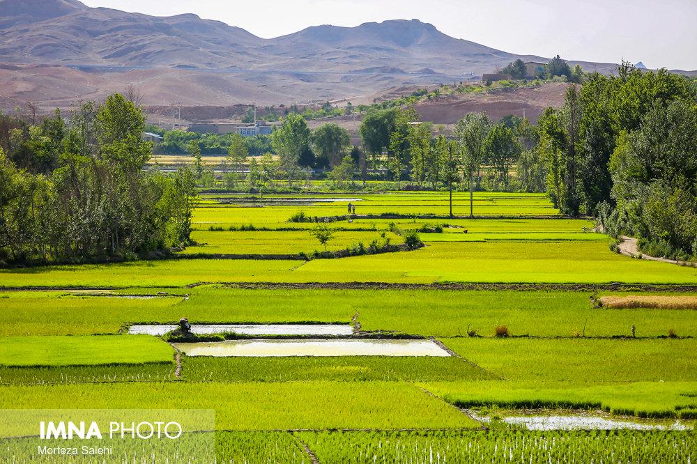 برنج کاری بخشی از فرهنگ لنجان است