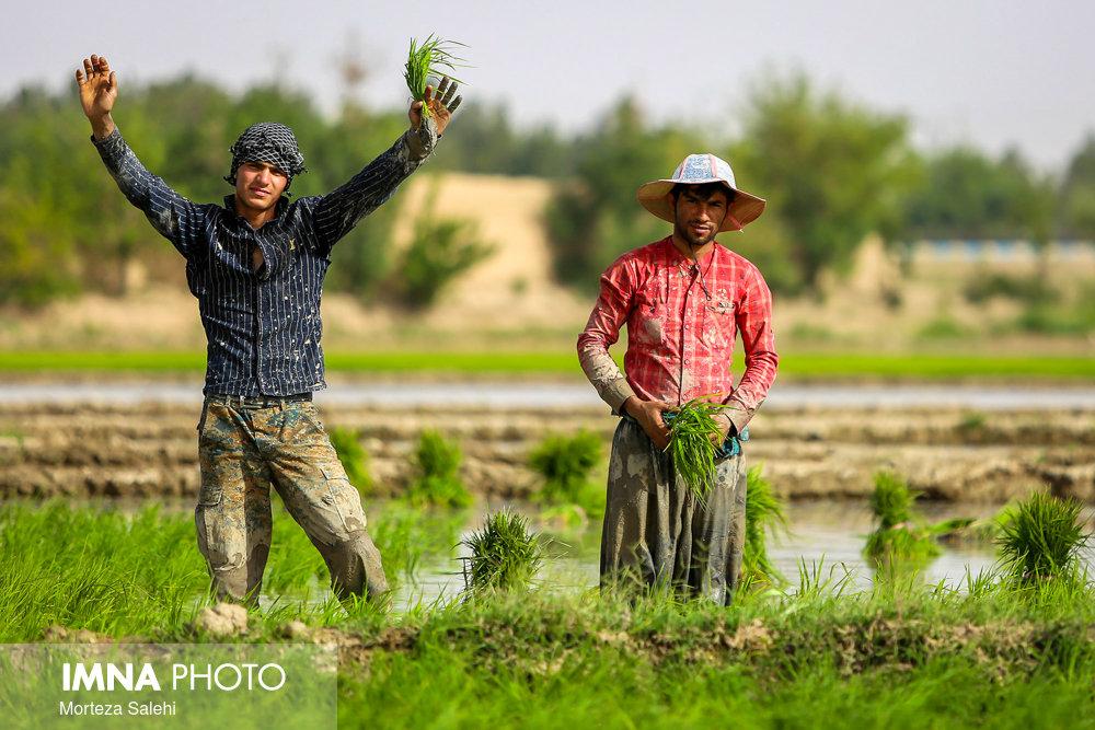 بستههای حمایتی برای نکاشت برنج هنوز به اصفهان نرسیده است